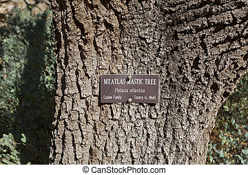 Close up of Tree Trunk - Close up of Mt Atlas Mastic Tree...