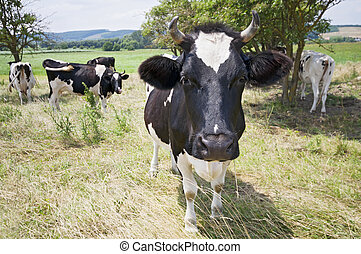 Funny cow portrait - Funny close-up cow portrait on the...