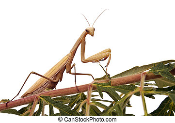 Praying mantis with clipping path - Praying mantis on branch...