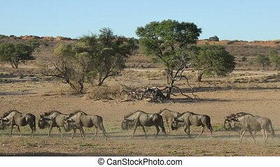 Blue wildebeest walking - Blue wildebeest (Connochaetes...