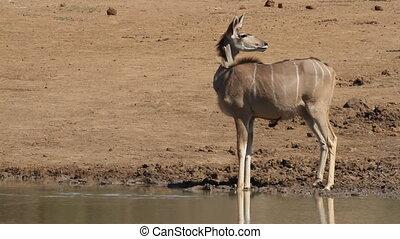 Alert kudu antelope (Tragelaphus strepsiceros) at a...