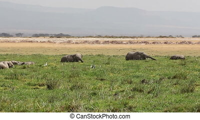 African elephants in marshland - African elephants...
