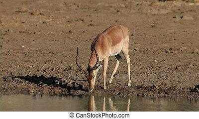 Impala antelope drinking - Male impala antelope Aepyceros...