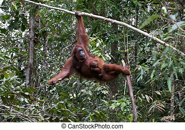 Orang Utan of Borneo with her 7 days old baby