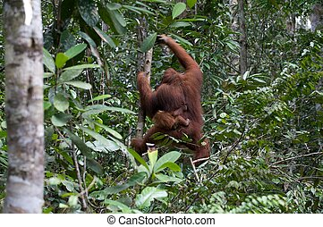 Orang Utan of Borneo with  her baby