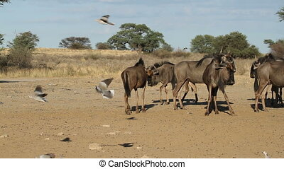 wildebeest and flying doves - Blue wildebeest (Connochaetes...