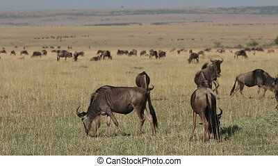 Playful wildebeest - Playful blue wildebeest (Connochaetes...