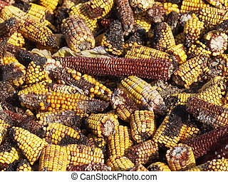 Moldy corn background, Aflatoxin - Aspergillus flavus and...