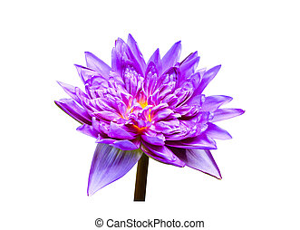 Purple water lily. isolated on white background