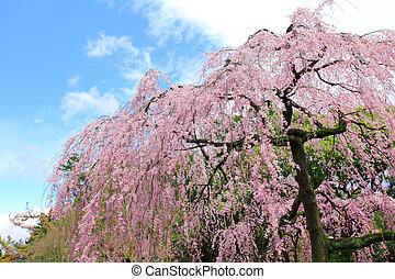 Cherry tree in Japan