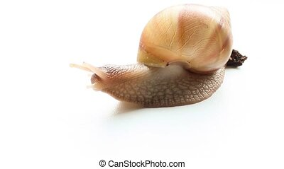Snail Achatina - Giant snail Achatina scared and looks...