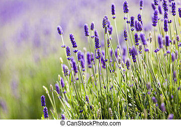 Lavendar closeup - Beautiful blooming lavender closeup on...