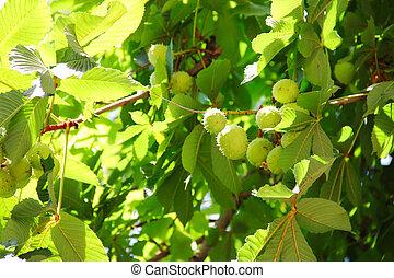 Chestnut on tree branch in garden close up