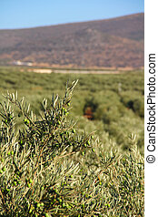 Olive trees - Beautiful landscape with olive tree plantation...