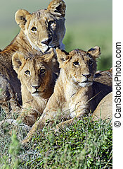 Masai Mara - lioness walking her five cubs through Kenya's...