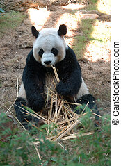 Giant panda eating bamboo - Giant panda relaxing and eating...