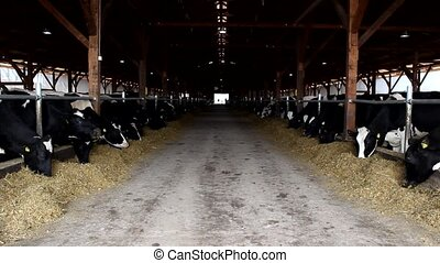 cows in the stable farm - Dairy cows in the stable farm