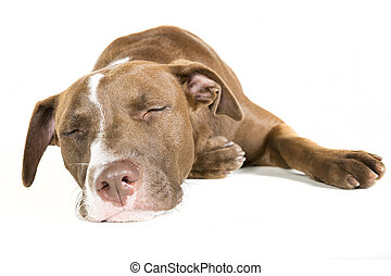 Sleeping Dog Isolated on White - Portrait of a lazy sleeping...