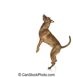 Jumping Dog Profile Isolated on Whi - Portrait of a young...