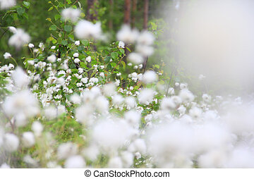 Cottongrass in forest - Blooming white flowers of...