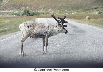 Male Elk crossing road - Male wild Elk crossing road in...