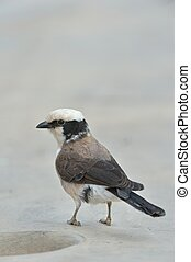 White-browed Sparrow-Weaver is perching on the stone table
