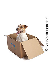jack russell terrier in a box - isolated jack russell...