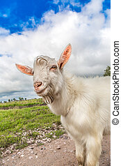 Portrait of a goat eating a grass on a green meadow -...