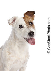 jack russell terrier smiling - isolated jack russell terrier...