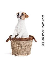 かわいい, 子犬, テリア, ジャッキ,  russell