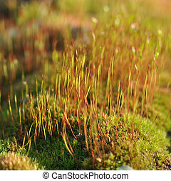 Moss with spores in spring forest closeup