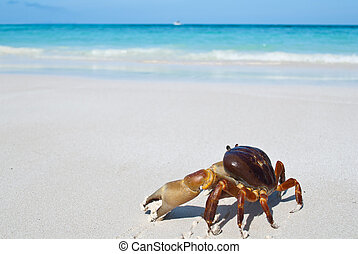 red crab(poo kai) on beach ,Tachai island, Similan island...