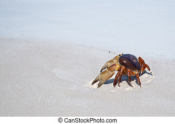 red crabpoo kai on beach ,Tachai island, Similan island...