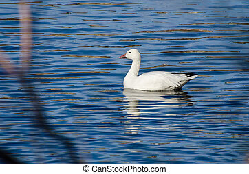 White snow Goose Swimming in Blue Water