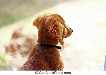 Dachshund Puppy - Long-haired dachshund puppy.
