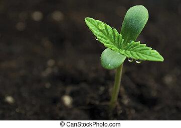 大麻, 播種