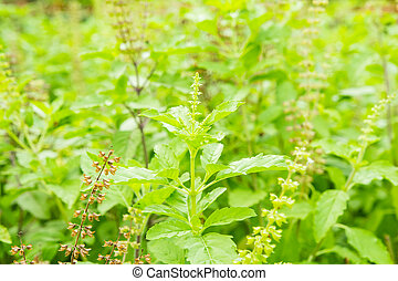 Green basil with flower and seed in plant, Thai herbs and...
