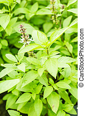 Green basil with flower in plant, Thai herbs and spices