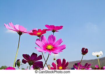 A beautyful Cosmos and the blue sky