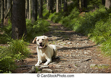 Dog in forest - Yellow labrador retriever is waiting in deep...