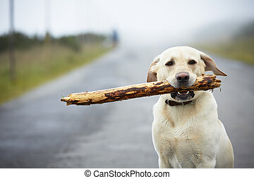 Dog with stick - Yellow labrador retriever with stick on the...