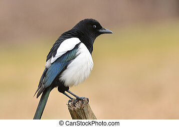 magpie bird sitting on the branch