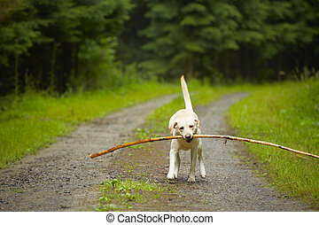 Dog in forest - Yellow labrador retriever with stick in...