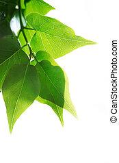 verde, hojas, encima, blanco