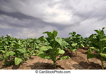 Tobacco plant in the field ,dramatic sky