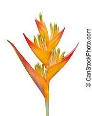 Bird of Paradise Flowers Isolated on White Background