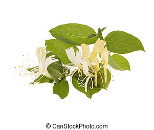 Sprig of honeysuckle with white flowers and green leaves...