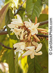 Resak - The flowers are very fragrant