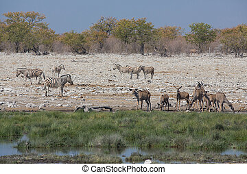 Waterhole in the savannah - Side view of group of zebras and...