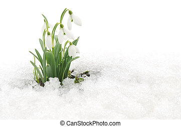Snowdrops and Snow - Snowdrop flowers coming out from real...